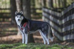 Husky siberiano al parco fotografia stock libera da diritti