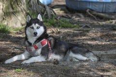 Husky siberiano al parco del cane immagini stock