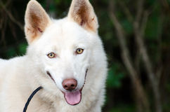 Husky siberiano bianco Fotografia Stock