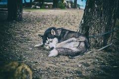 Husky siberiano in bianco e nero immagini stock libere da diritti