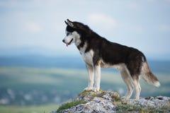 Husky siberiano in bianco e nero che sta su una montagna nei precedenti delle montagne e delle foreste Cane sui precedenti di un  Fotografia Stock