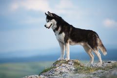 Husky siberiano in bianco e nero che sta su una montagna nei precedenti delle montagne e delle foreste Cane sui precedenti di un  Fotografia Stock Libera da Diritti
