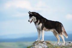 Husky siberiano in bianco e nero che sta su una montagna nei precedenti delle montagne e delle foreste Cane sui precedenti di un  Immagine Stock