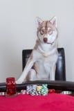 Husky siberiano che gioca poker Fotografia Stock Libera da Diritti