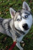 Husky siberiano che guarda su fotografie stock