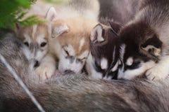 Husky siberiano Cuccioli di nutrizione Fotografia Stock Libera da Diritti