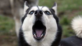 Husky siberiano d'urlo Fotografia Stock