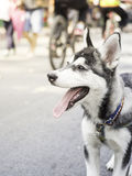 Husky siberiano de la sonrisa Imagen de archivo libre de regalías