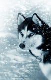 Husky siberiano del cane in neve Fotografia Stock Libera da Diritti