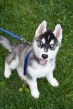 Husky siberiano del cucciolo all'aperto sul campo verde Immagine Stock Libera da Diritti
