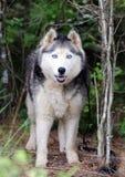 Husky siberiano del Malamute de Alaska Fotos de archivo