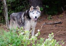 Husky siberiano del Malamute de Alaska Imagenes de archivo