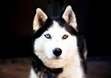 Husky siberiano del retrato Foto de archivo