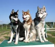 Husky siberiano della famiglia Immagine Stock Libera da Diritti