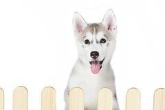 Husky siberiano dentro la palizzata isolata su fondo bianco Fotografie Stock
