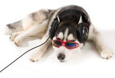 Husky siberiano en auriculares Fotografía de archivo libre de regalías