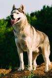 Husky siberiano en el campo Imagen de archivo libre de regalías