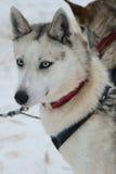 Husky siberiano en el campo de Musher en Laponia finlandesa Imagen de archivo libre de regalías