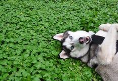 Husky siberiano en el campo de tréboles Fotografía de archivo