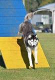 Husky siberiano en el ensayo de la agilidad del perro imagen de archivo