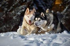 Husky siberiano en la nieve Foto de archivo libre de regalías