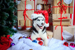 Husky siberiano en un casquillo del Año Nuevo cerca del árbol de navidad Foto de archivo libre de regalías