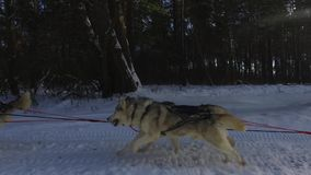 Husky siberiano en un equipo del perro Funcionamiento en el montar a caballo del bosque en trineo con un equipo del perro del hus almacen de video