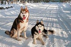 Husky siberiano en un invierno imagen de archivo libre de regalías