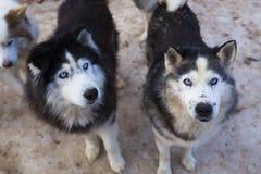 Husky siberiano gris Imágenes de archivo libres de regalías