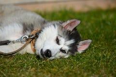 Husky siberiano joven en el jardín fotografía de archivo