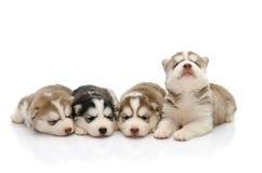 Husky siberiano lindo de los perritos que duerme en el fondo blanco Fotos de archivo