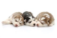 Husky siberiano lindo de los perritos que duerme en el fondo blanco Fotografía de archivo