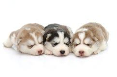 Husky siberiano lindo de los perritos que duerme en el fondo blanco Imagenes de archivo