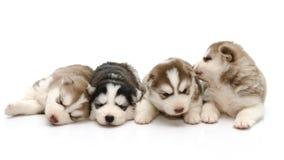 Husky siberiano lindo de los perritos que duerme en el fondo blanco Fotografía de archivo libre de regalías