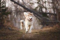 Husky siberiano lindo y feliz de la raza del perro que corre en el bosque en primavera en la puesta del sol imagen de archivo libre de regalías