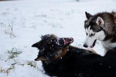 Husky siberiano lindo y pastor alemán que juegan al aire libre, en la nieve fotografía de archivo libre de regalías