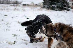 Husky siberiano lindo y pastor alemán que juegan al aire libre, en la nieve foto de archivo libre de regalías