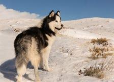 Husky siberiano maestoso nella montagna nevosa fotografie stock libere da diritti