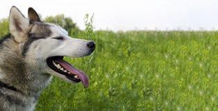 Husky siberiano maturo sul fondo dell'erba verde Il cavo ha grigio e la pelliccia bianca, occhi differenti è blu e marrone fotografia stock
