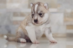 Husky siberiano muy pequeño del perrito Foto de archivo