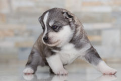 Husky siberiano muy pequeño del perrito Fotos de archivo libres de regalías