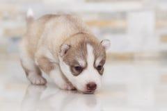 Husky siberiano muy pequeño del perrito Imagenes de archivo