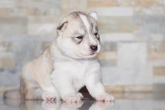 Husky siberiano muy pequeño del perrito Fotos de archivo