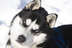 Insegua il husky siberiano della razza che si trova nella neve fotografia stock immagine 62979382 - Husky occhi diversi ...