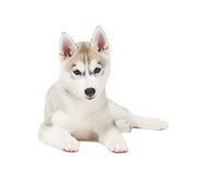 Husky siberiano piccoli 2 mesi isolati su fondo bianco fotografia stock