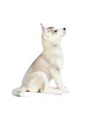 Husky siberiano piccoli 2 mesi isolati su fondo bianco Immagine Stock Libera da Diritti