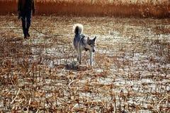 Husky siberiano que camina en un correo Fotos de archivo
