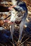 Husky siberiano que come de la mano Fotografía de archivo libre de regalías