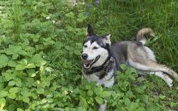 Husky siberiano que descansa en hierba en día de verano caliente Foto de archivo libre de regalías