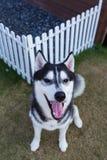 Husky siberiano que sonríe en el jardín Foto de archivo